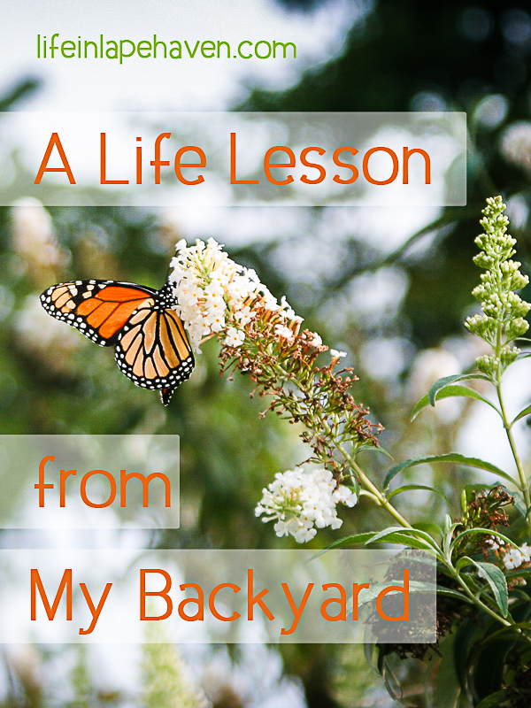 Life in Lape Haven: A Life Lesson from My Backyard - Butterfly on Butterfly Bush