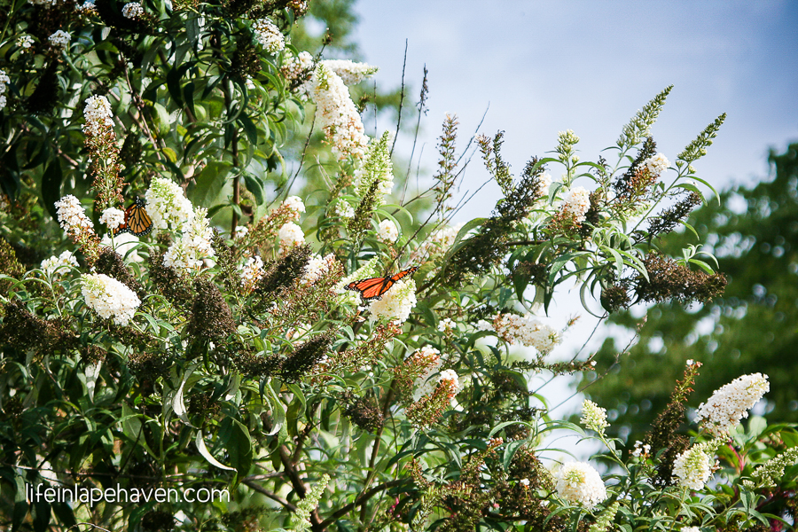Life in Lape Haven: A Life Lesson from My Backyard - Butterflies on Butterfly Bush