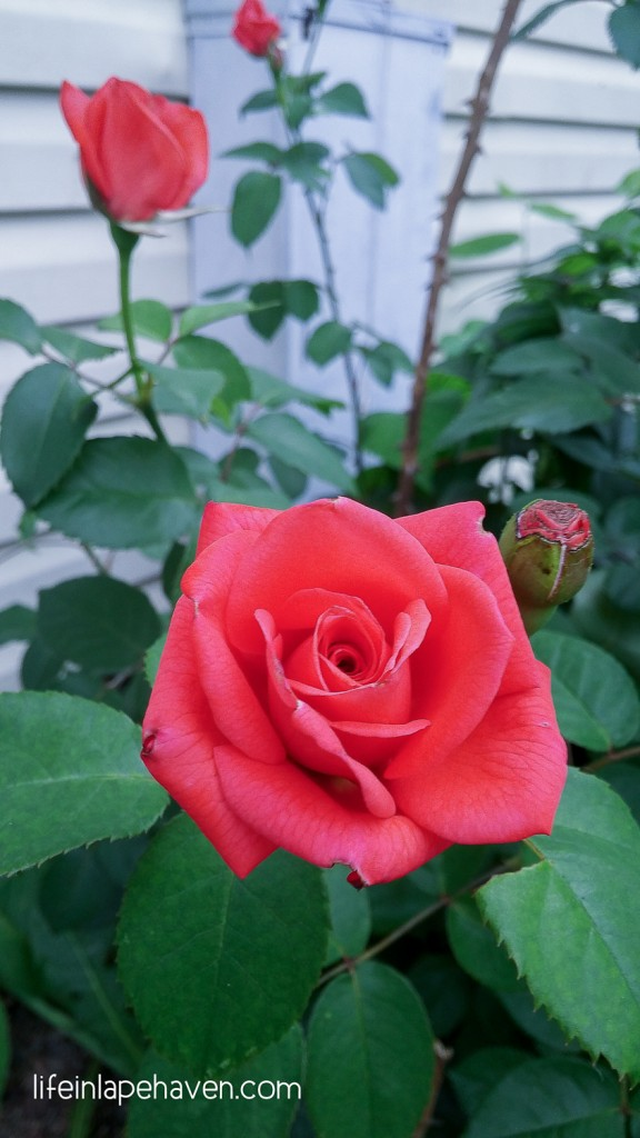 Life in Lape Haven: A Life Lesson from My Backyard - New rose blossoms