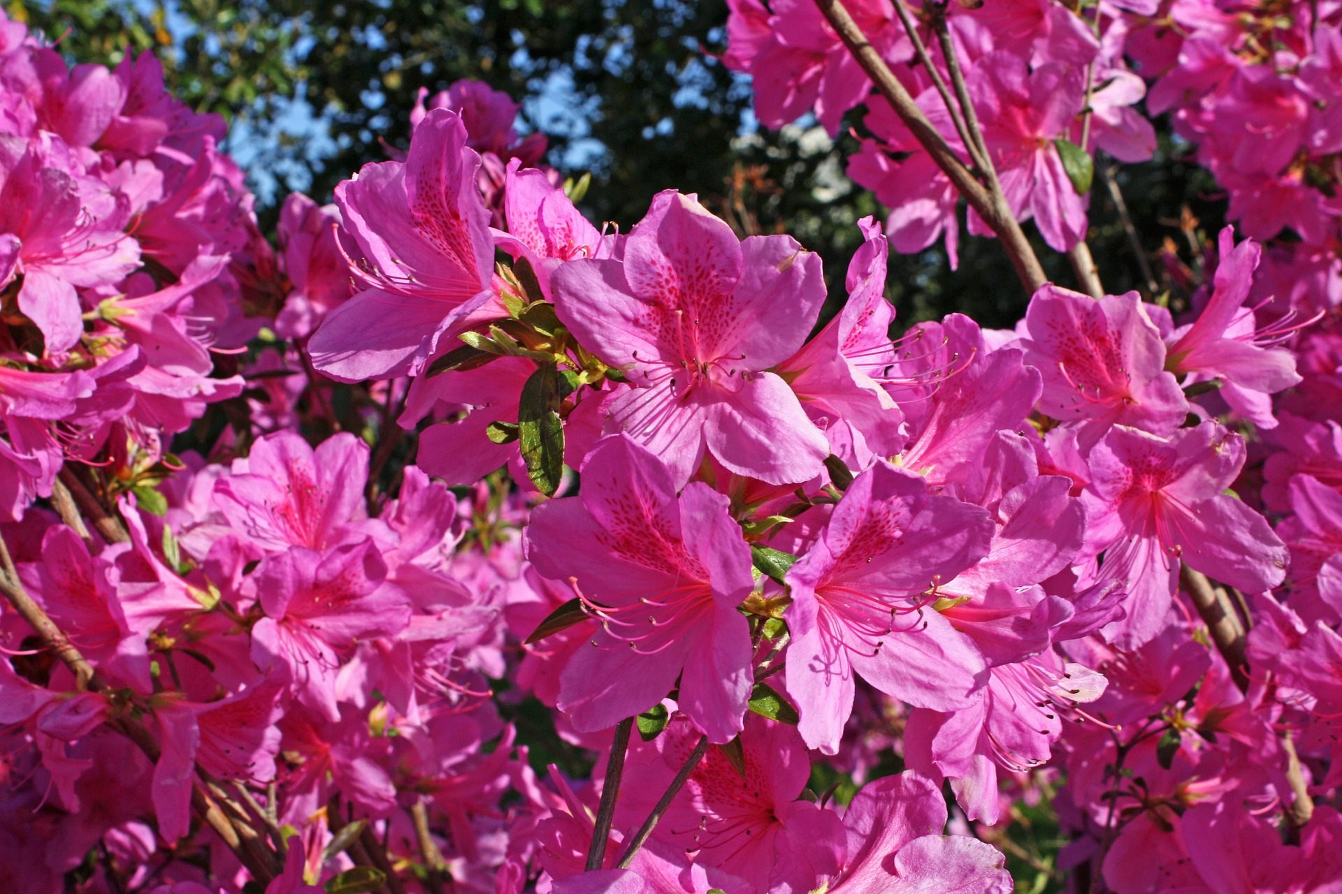 The hope of spring life in lape haven for The azalea